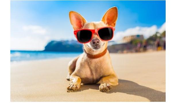 Chihauhau on the beach wearing sunglasses