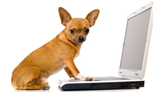 Chihauhau at computer