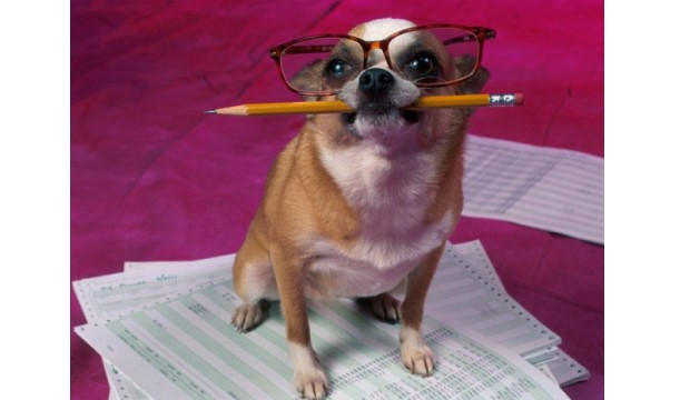 Chihauhau with glasses and a pencil sitting on papers